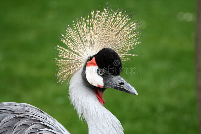 Portrait of a crowned crane bird stock images