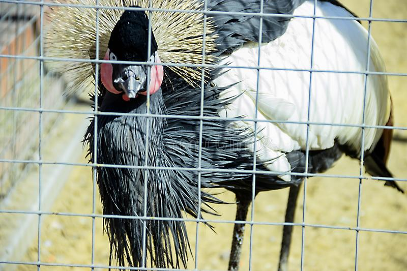 Portrait of Crowned Crane royalty free stock image