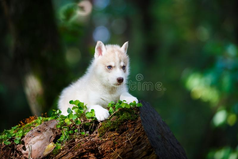 Husky puppy in a wild forest stock photo