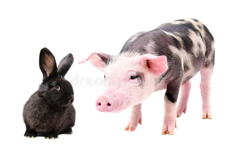 Portrait of a curious pig and cute black rabbit stock photography
