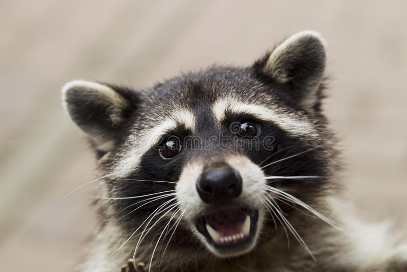Portrait of a curious raccoon royalty free stock photos