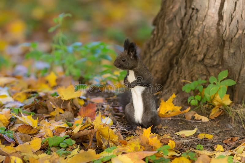 Portrait of a curious squirrel royalty free stock images