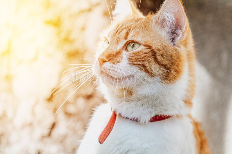 Portrait cut funny white-and-red cat close up royalty free stock photos