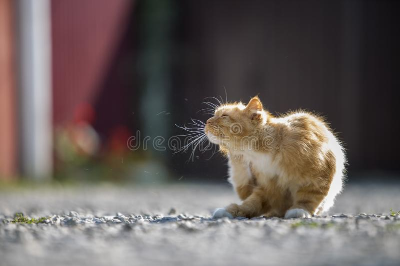 Portrait of cute adorable ginger orange young big cat with golden yellow eyes sitting outdoors on small pebbles posing on blurred. Light colorful sunny copy royalty free stock photo