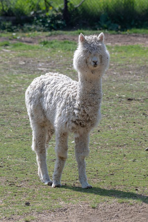 Portrait of cute Alpaca or Vicugna pacos royalty free stock images