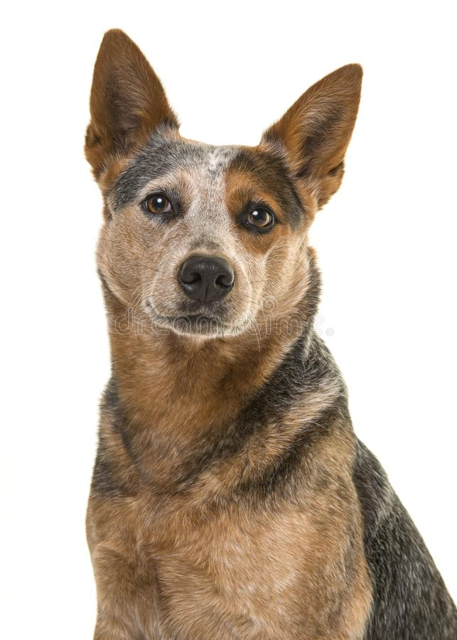 Portrait of a cute australian cattle dog smiling at the camera o stock photo