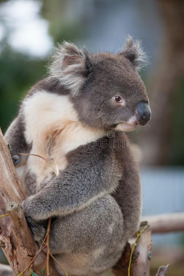 Portrait cute Australian Koala Bear sitting in an eucalyptus tree and looking with curiosity. Kangaroo island. royalty free stock photography