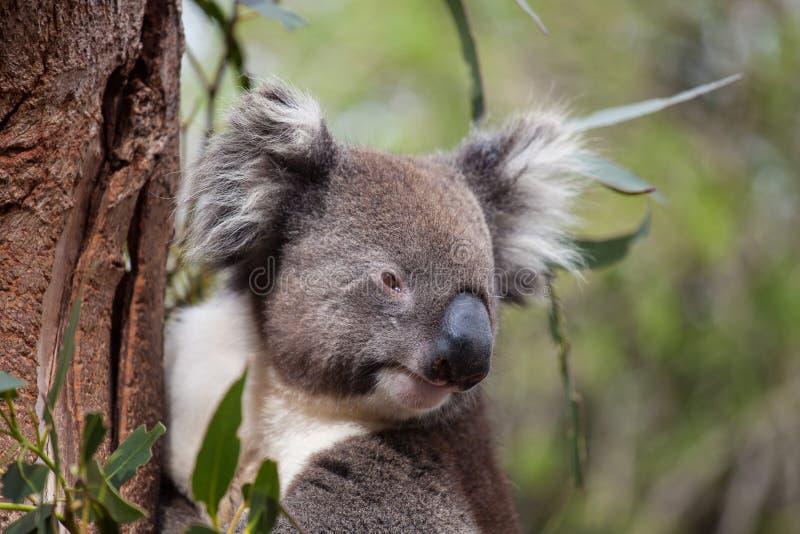 Portrait cute Australian Koala Bear sitting in an eucalyptus tree and looking with curiosity. Kangaroo island. stock photography