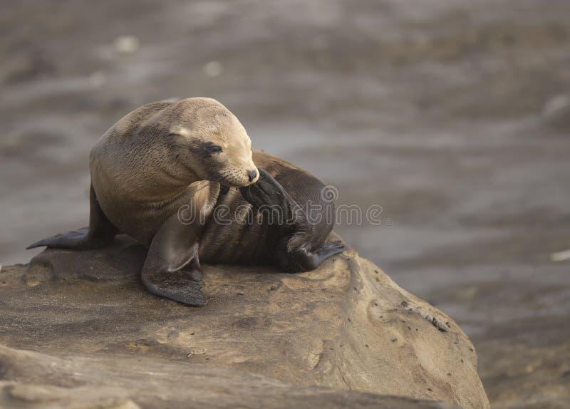 Baby California Sea Lion at La Jolla royalty free stock photos