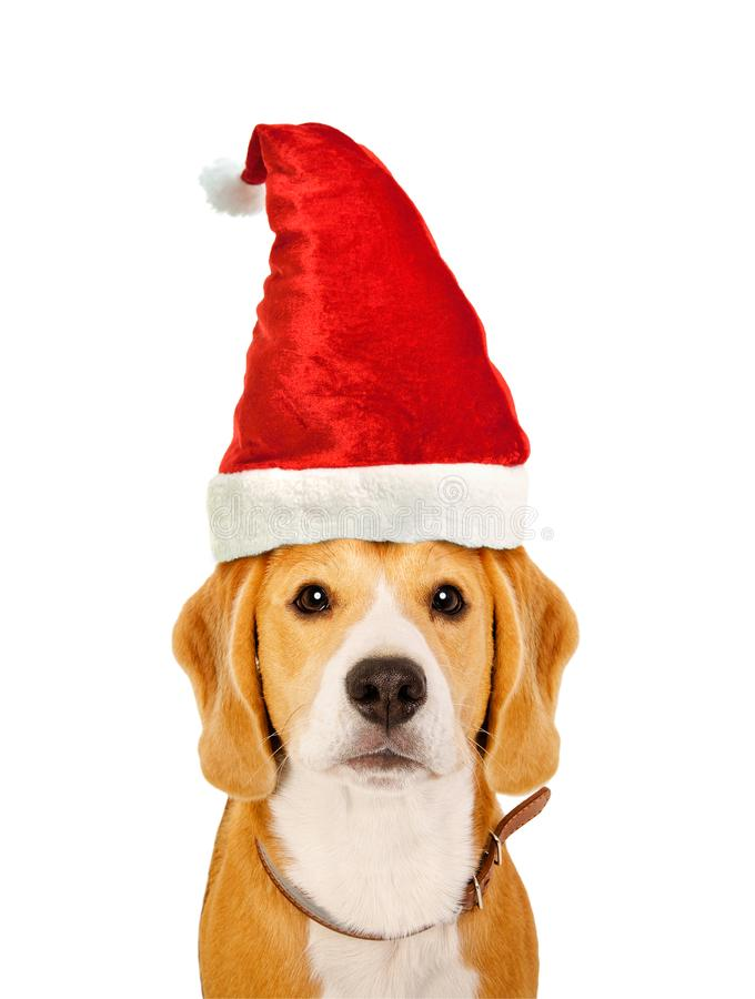 Portrait of a cute Beagle dog in a New Year`s cap stock images
