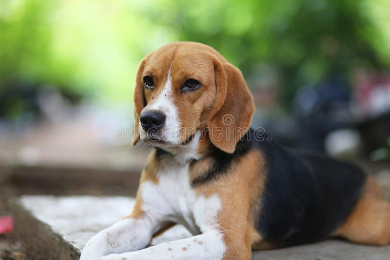 Portrait of a cute beagle dog outdoor. Portrait of a cute beagle dog outdoor lying on the footpath stock photography