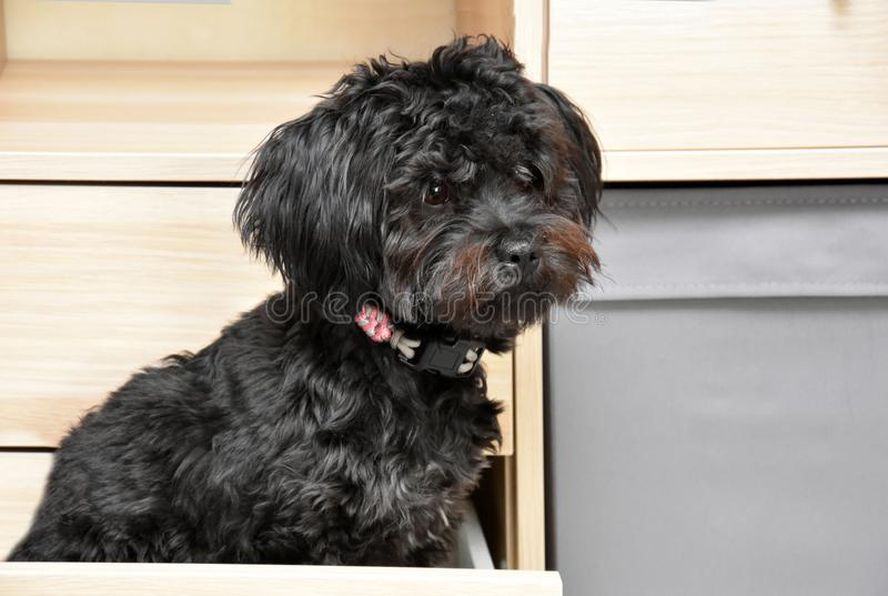 Bolonka puppy in a  drawer royalty free stock images