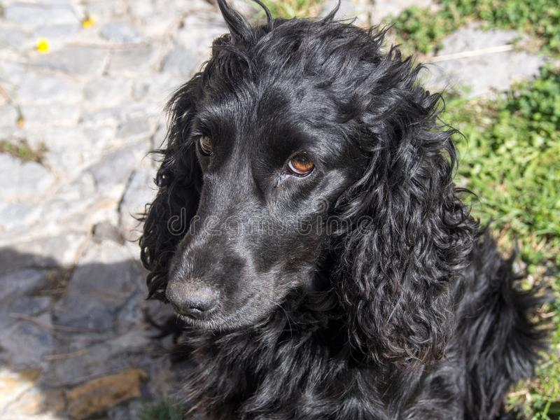 Portrait of a cute black dog stock images