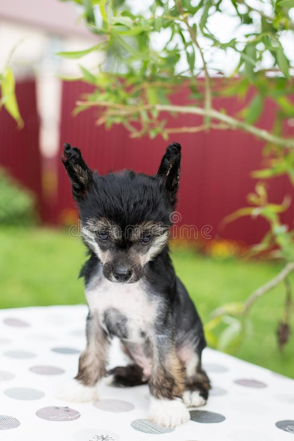 Portrait of black hairless puppy breed chinese crested dog sitting on the table on summer day. Portrait of cute black hairless puppy breed chinese crested dog stock images