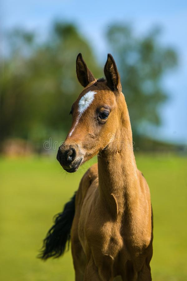 Cute brown akhal teke foal on a summer day royalty free stock images