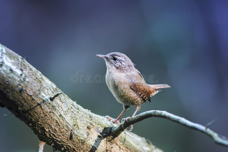 Portrait of cute brown funny bird Wren standing in a Park on a t. Ree proudly raising his head royalty free stock images
