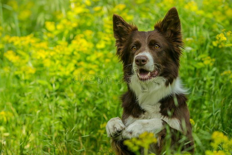 Portrait of cute brown and white border collie dog royalty free stock images