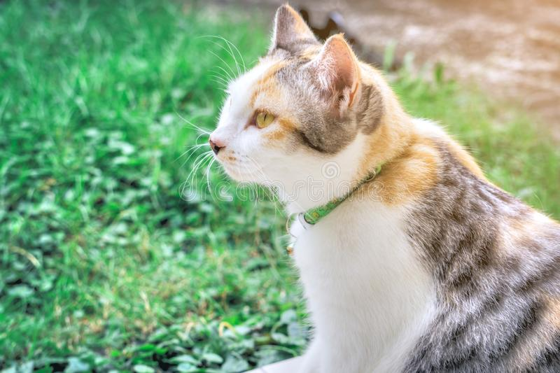 Portrait of cute calico parti-colour thai cat with yellow eyes looking at the camera with suspicion. Green grass background. Surpr stock photo