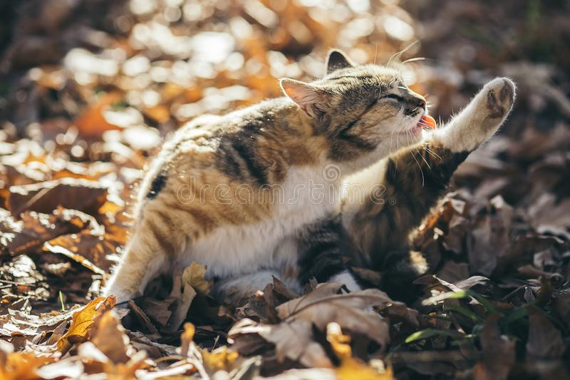 Portrait of a cute cat holding back leg in the air and licking for cleaning on fallen leaves in the autumn forest. Portrait of a cute cat holding back leg in stock images