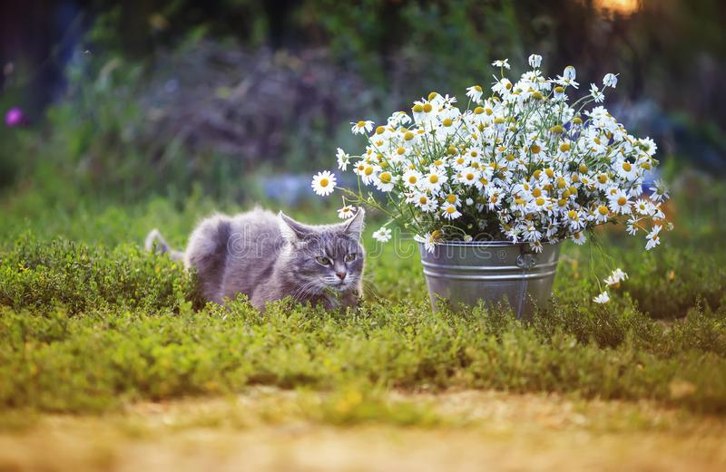 Portrait of a cute striped cat sitting in a summer garden under a bouquet of white daisies against the bright setting sun royalty free stock photography