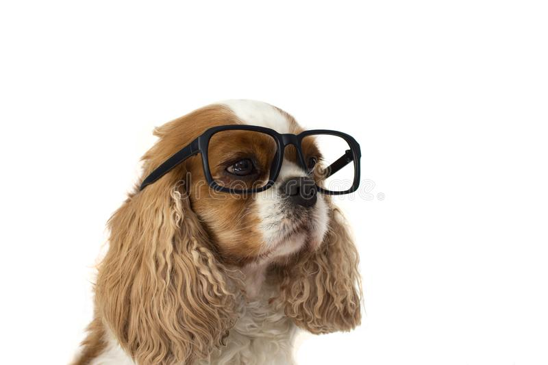PORTRAIT OF A CUTE CAVALIER SPANIEL WEARING BLACK GLASSES. ISOLATES STUDIO SHOT AGAINST WHITE BACKGROUND stock images