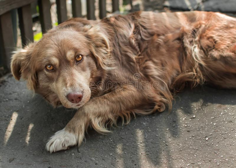 Portrait of cute chained brown or red dog lying or resting on old village yard under wooden fence in shadow. The doggy looking int. O camera royalty free stock photography