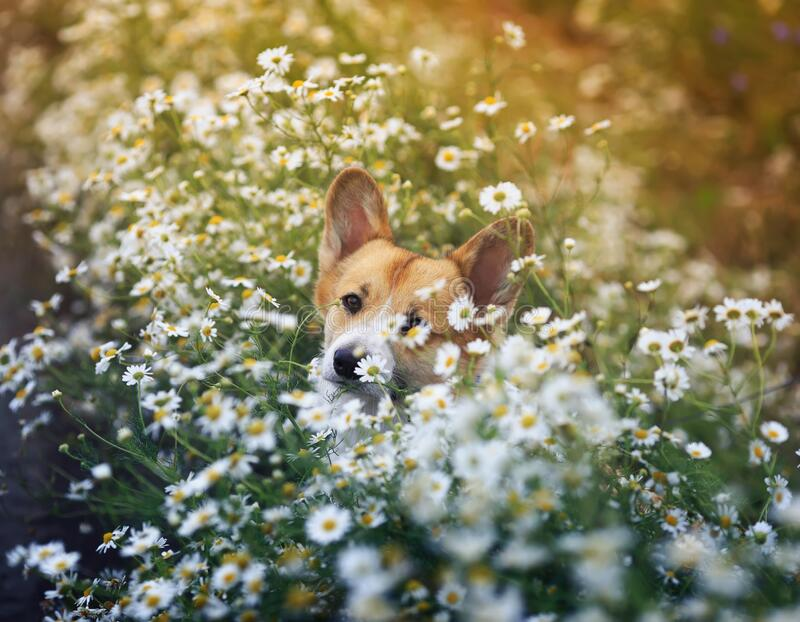 Portrait of a cute Corgi dog puppy lying on a Sunny meadow in the colors of white daisies royalty free stock photos