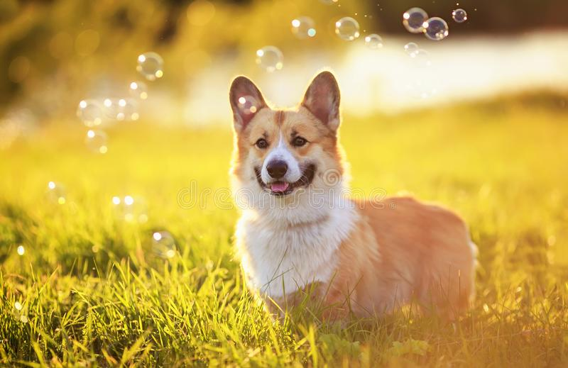 Cute Corgi dog puppy stands on bright a green meadow bathed in warm sunlight and shiny flying bubbles on a summer. Portrait of cute Corgi dog puppy stands on royalty free stock photo