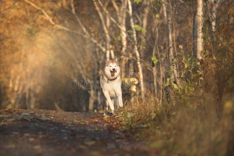 Portrait of cute, crazy and happy dog breed Siberian husky running on the path in the bright golden autumn forest royalty free stock images