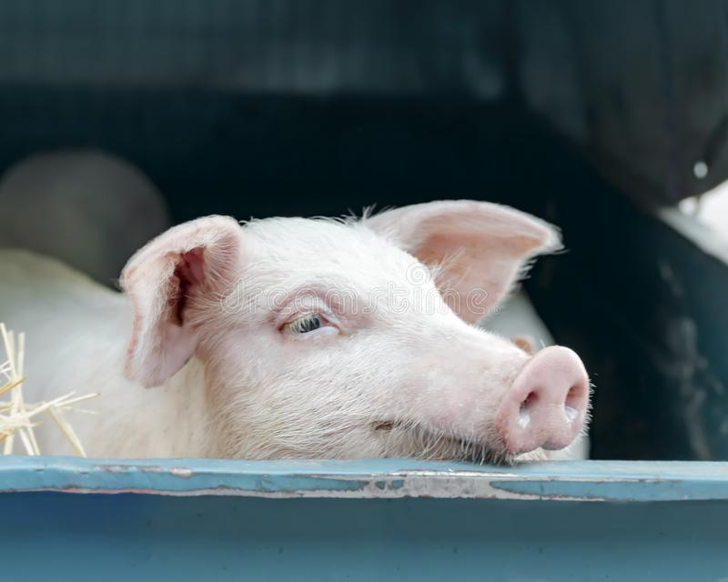 Portrait of cute curious white pink meat breed pig on sale at the local village market royalty free stock images