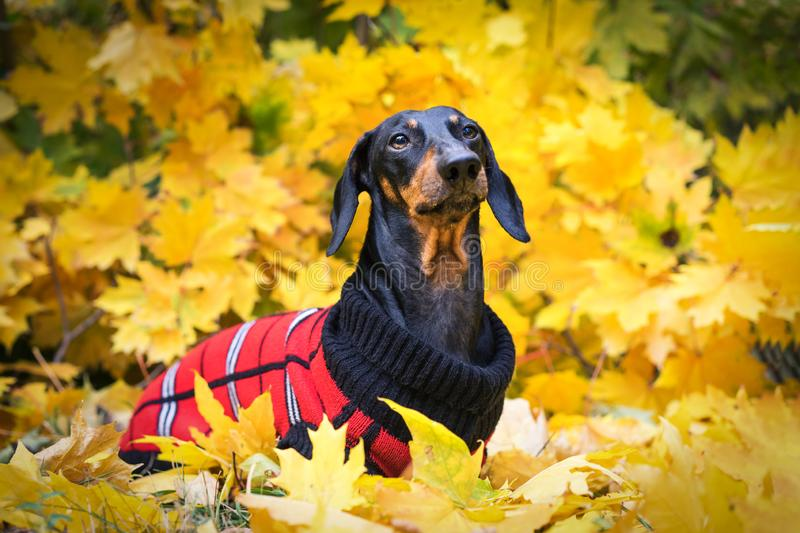 Portrait cute dachshund dog, black and tan, dressed in a red knitted sweater among yellow leaves in the autumn park.  royalty free stock images