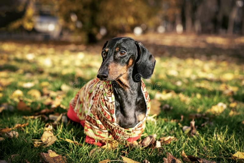 Portrait cute dachshund dog, black and tan, dressed in a sweater among yellow leaves in the autumn park. autumn mood.  royalty free stock images