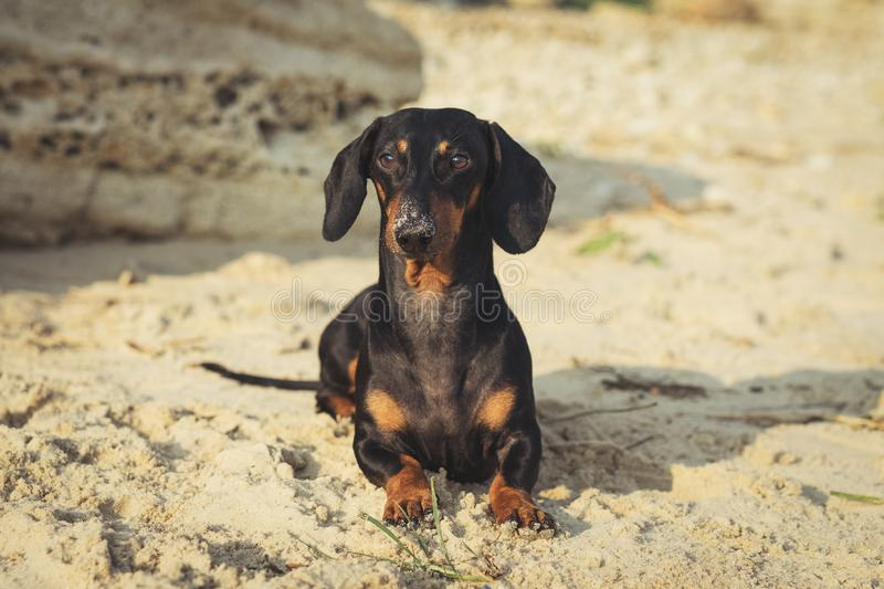 Portrait of a cute dog, the breed of dachshund, black and tan, lies on the beach in summer, the nose is smeared in the sand stock images