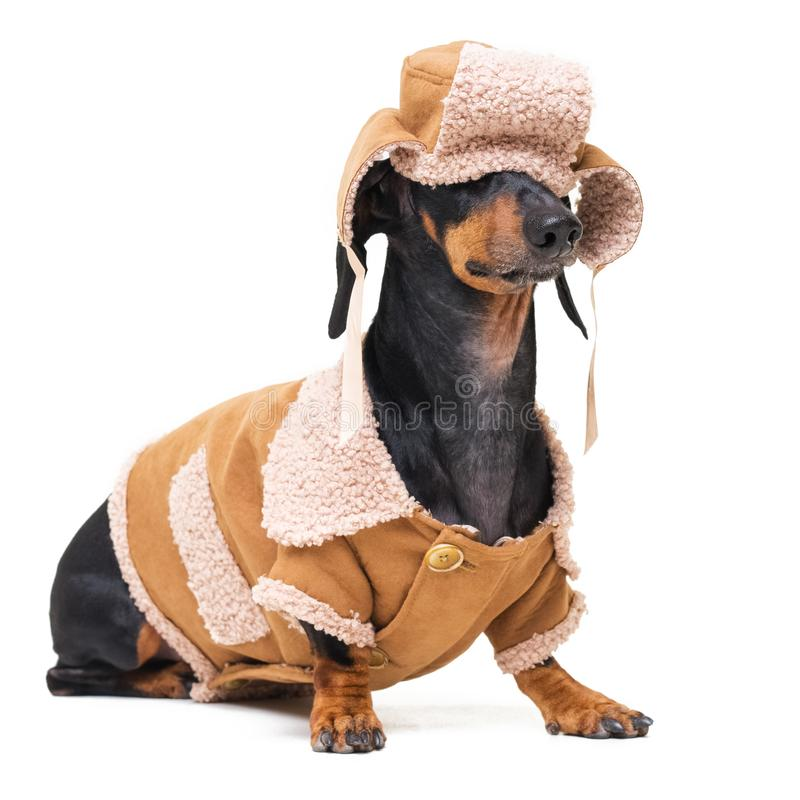 Portrait on a cute dog breed dachshund, black and tan, in winter clothes, fur hat, fallen on eyes, and sheepskin coat, isolated on stock images