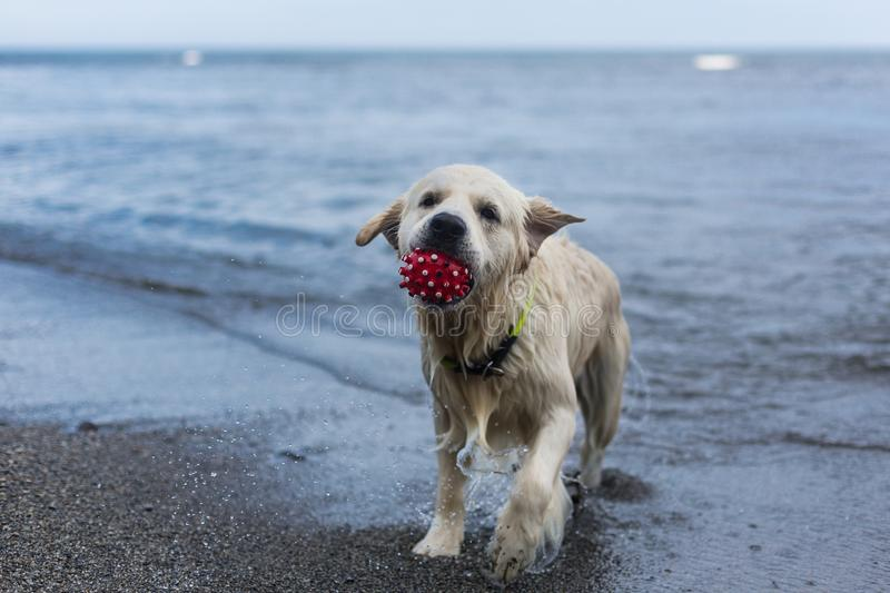 Portrait of a cute dog breed golden retriever with the ball in his mouth has fun on the beach. Close-up Portrait of a cute dog breed golden retriever with red royalty free stock photos