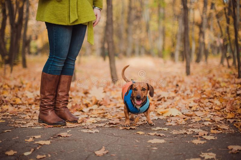 Portrait cute dog dachshund breed, black and tan, dressed in a raincoat, cool autumn weather for a walk in the park. stock photography