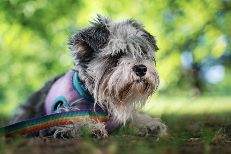 Portrait of a cute dog miniature Schnauzer, lies on the grass in the park.  puppy  training and obedience.  royalty free stock photography
