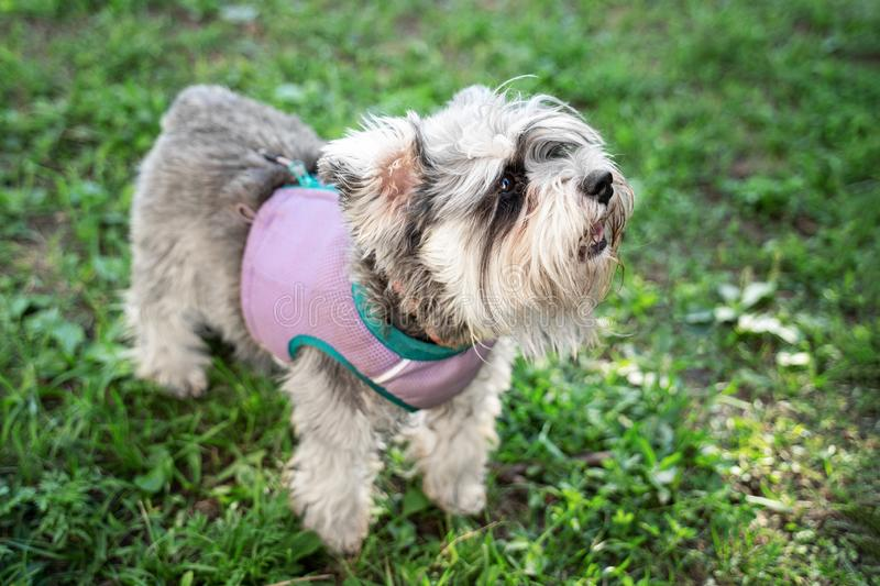 Portrait of a cute dog miniature Schnauzer, sits on the grass in the park.  puppy  training and obedience.  stock images