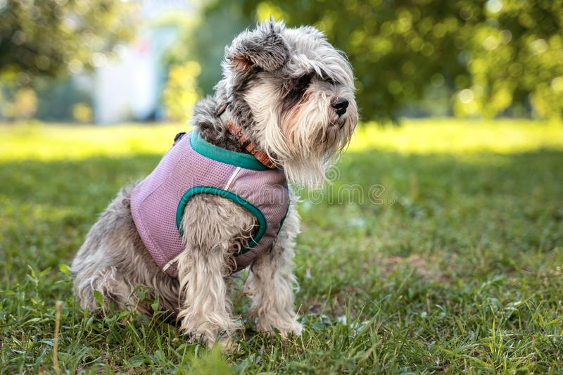 Portrait of a cute dog miniature Schnauzer, sits on the grass in the park.  puppy  training and obedience.  royalty free stock photography