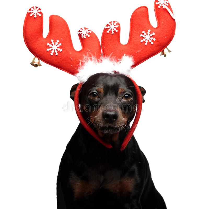 Portrait of a cute dog wairing reindeer horns. While looking forward at the camera on a white background royalty free stock photography