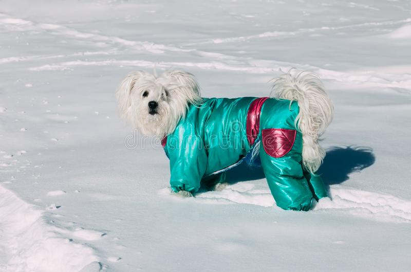 Portrait of cute dog wearing a winter coat on a snow. Portrait of cute small dog wearing a winter coat on a snow stock photos