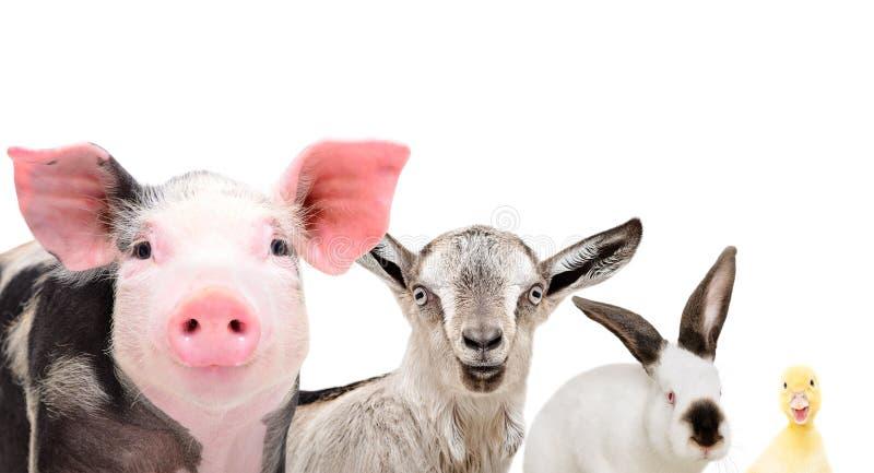 Portrait of cute farm animals, closeup stock photo