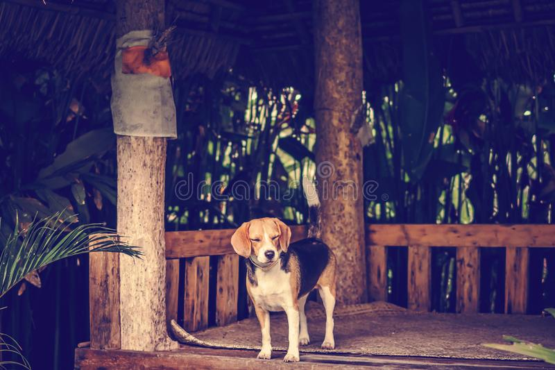 Portrait of cute female beagle dog. royalty free stock photos