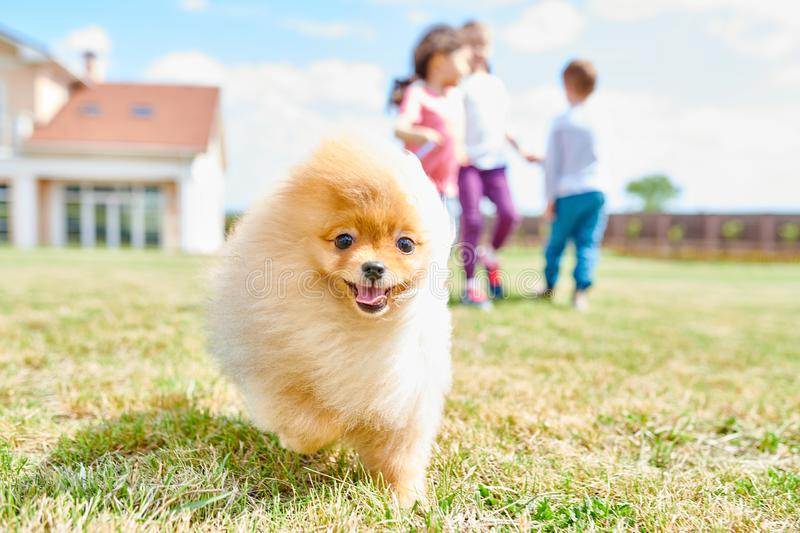 Cute Pomeranian Puppy. Portrait of cute fluffy puppy running towards camera on green lawn with children playing in background, copy space stock photo