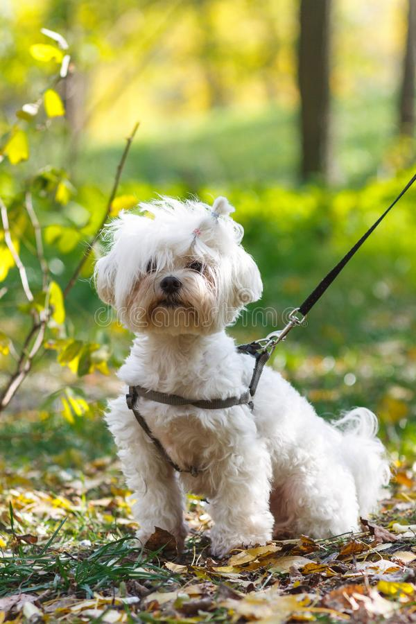 A portrait of cute fluffy white dog on the grass on field royalty free stock photography