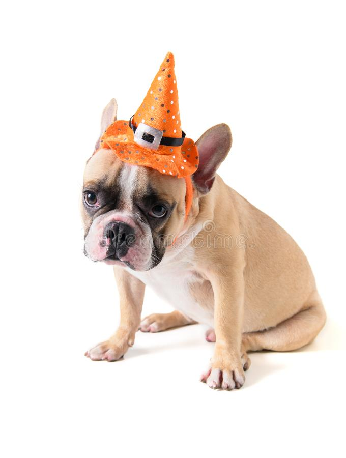Portrait of Cute French bulldog with hat halloween isolated royalty free stock image