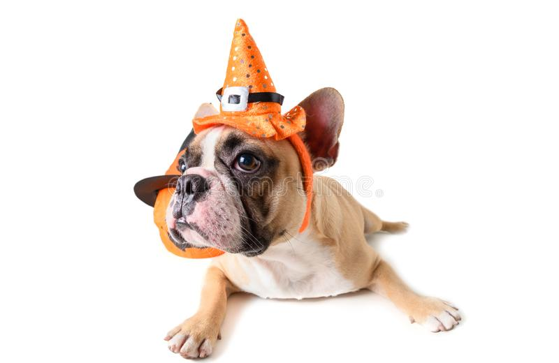 Portrait of Cute French bulldog with hat halloween isolated royalty free stock images