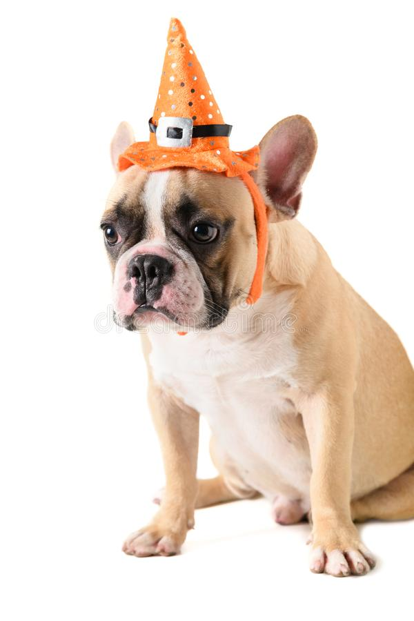 Portrait of Cute French bulldog with hat halloween isolated stock image