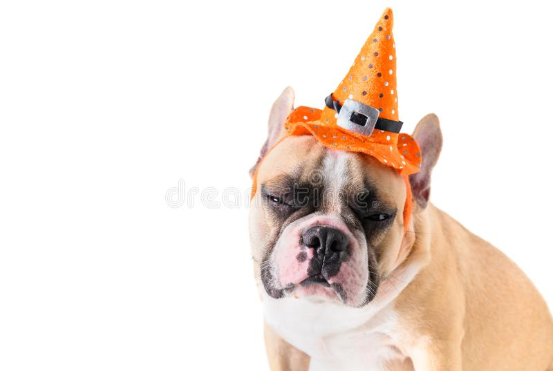 Portrait of Cute French bulldog with hat halloween royalty free stock images