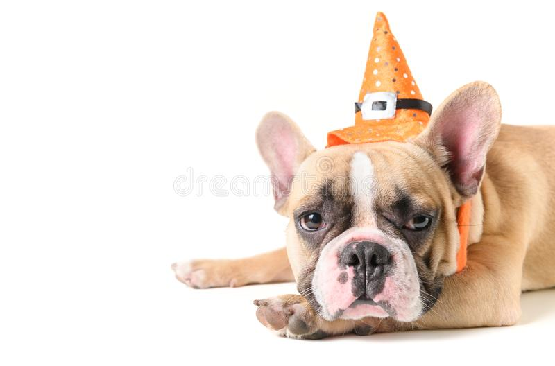 Portrait of Cute French bulldog with hat halloween lying royalty free stock image